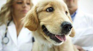 Qué es y en qué consiste la esterilización de un perro