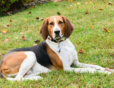 Razas de perro: Coonhound