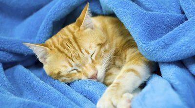 ¿Cómo puedo saber si mi gato tiene fiebre?