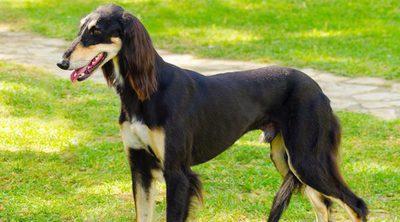 Razas de perros: Saluki