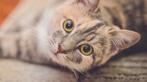 Las razas de gato que sueltan menos pelo