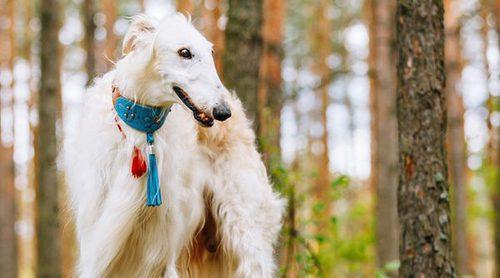 Razas de perros: Borzoi