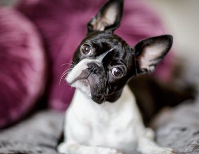 Razas de perros: Boston Terrier