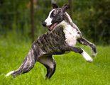 Razas de perros: Whippet