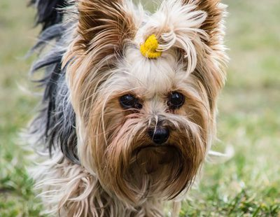 Poner accesorios en el pelo de tu perro. ¿A favor o en contra?