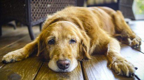 Señales que nos muestran que nuestro perro está envejeciendo
