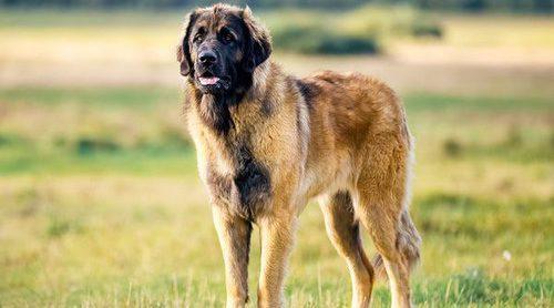 Las 10 razas de perros más grandes