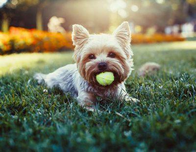 Una selección de los Terriers más comunes