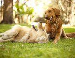 Celo en los perros: �Cu�ndo es el momento id�neo para la reproducci�n?