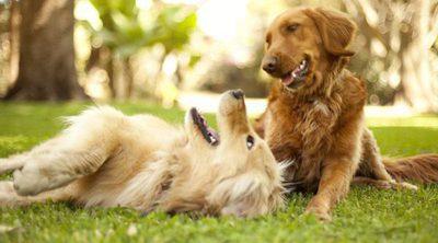 Celo en los perros: ¿Cuándo es el momento idóneo para la reproducción?