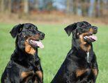 Razas de perros: Beauceron
