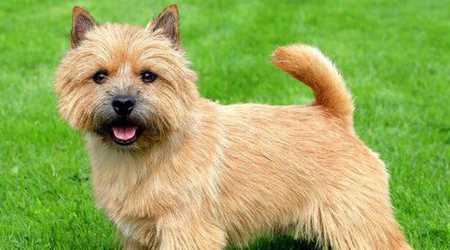 El Norwich Terrier: un 'Pastor alemán' en miniatura
