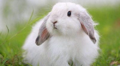 El conejo Belier: conoce esta raza de roedor