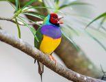 Diamante de Gould: conoce a esta ave ex�tica