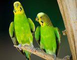 El periquito: Un p�jaro fiel a su pareja de por vida