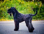 Kerry Blue Terrier, una raza de perro muy peculiar