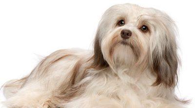 Bichón habanero: conoce esta raza de perro