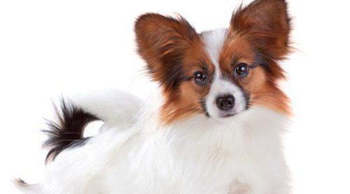 ¿Conoces al Papillón? descubre esta raza de perro