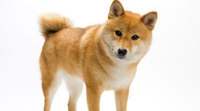 Razas de perros: Shiba Inu