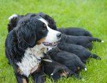 �Desaparece el embarazo psicol�gico en una perra con tortilla francesa con perejil?