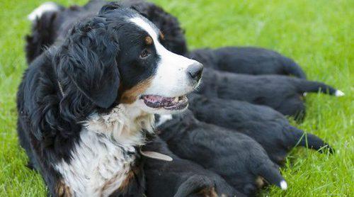 ¿Desaparece el embarazo psicológico en una perra con tortilla francesa con perejil?