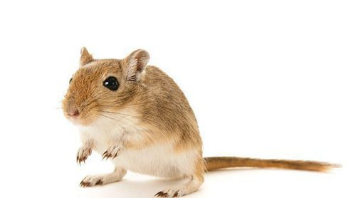 El jerbo, ¿conoces a este curioso roedor doméstico?