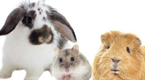 ¿Cómo elegir un roedor doméstico?