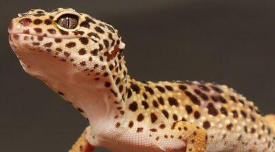 Gecko leopardo: descubre a este pequeño reptil doméstico