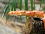 Serpiente de ma�z: los cultivos, su lugar preferido