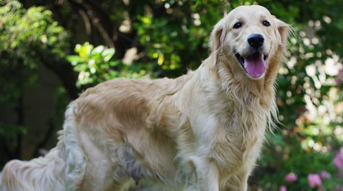 Los perros grandes que menos pelos sueltan