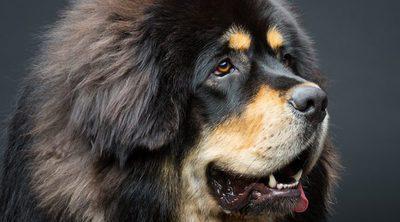 ¿Cuál es el perro más caro del mundo?
