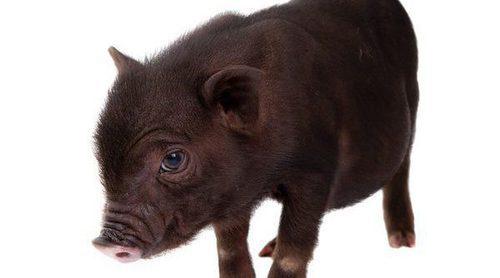 Conoce en profundidad al cerdo vietnamita