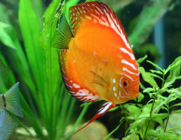 Cu les son los mejores peces de agua fr a bekia mascotas for Mejores peces agua fria
