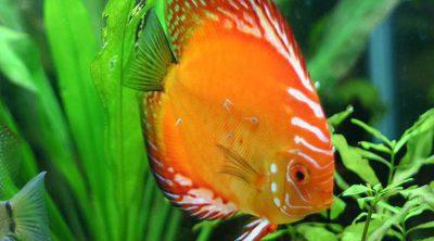 ¿Cuáles son los mejores peces de agua fría?