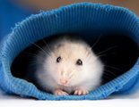 Los 6 roedores m�s comunes en los hogares