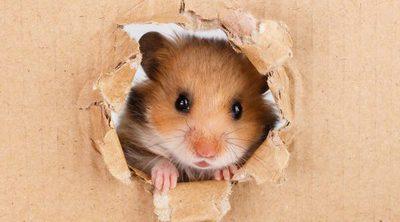 Hámster: conoce todo sobre este roedor