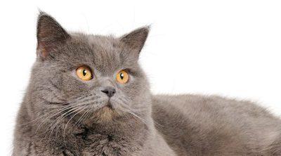 Gato Persa: Todo lo que necesitas saber