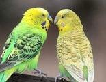 Periquito papillero: Conoce todo sobre este p�jaro