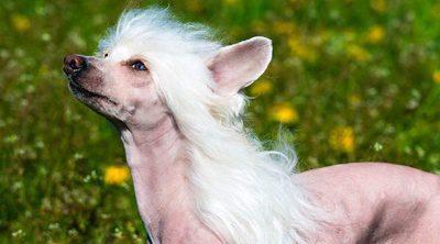 Crestado chino: el perro más feo del mundo