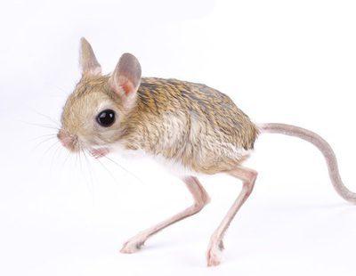 Jerbo egipcio: Conoce todo sobre este roedor