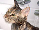 Gatos que S� aceptan mojarse