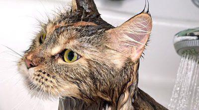 Gatos que SÍ aceptan mojarse