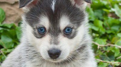 8 nuevas razas de perros que te van a impresionar