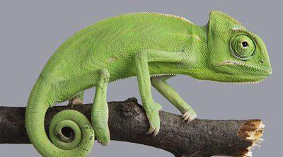 Curiosidades de los camaleones