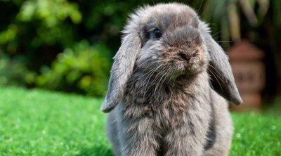 Conejos: la muda de pelo