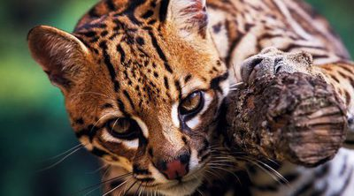 Ocelote: Un leopardo mini
