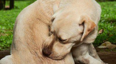 Ehrilquiosiois canina: Qué es