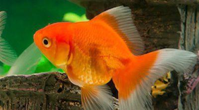 Peces bekia mascotas for Tipos de jaulas para peces