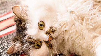 Cómo cuidar a un gato mayor