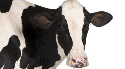 ¿Por qué algunas vacas tienen agujeros en el estómago?